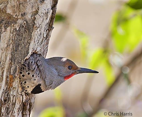 Northern Flicker in her nest in the Cariboo region of British Columbia