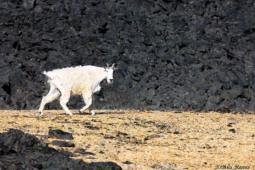 Mountain goat travelling through the Itcha volcano