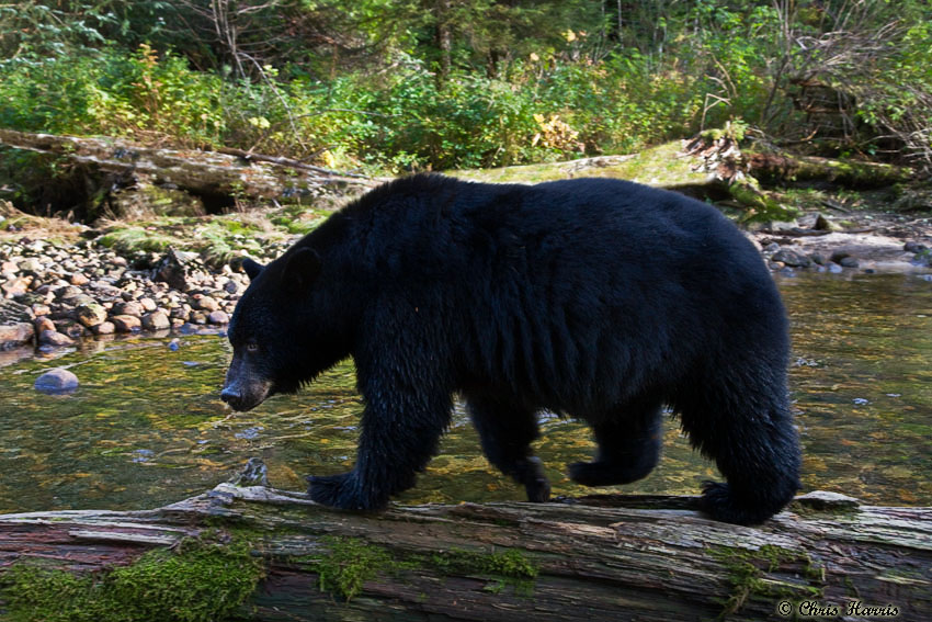 Black Bear II