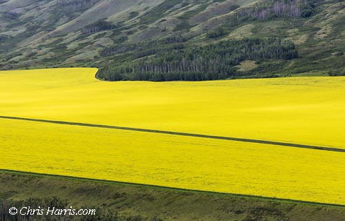 Canada, British Columbia, Peace River Country, canola crop,