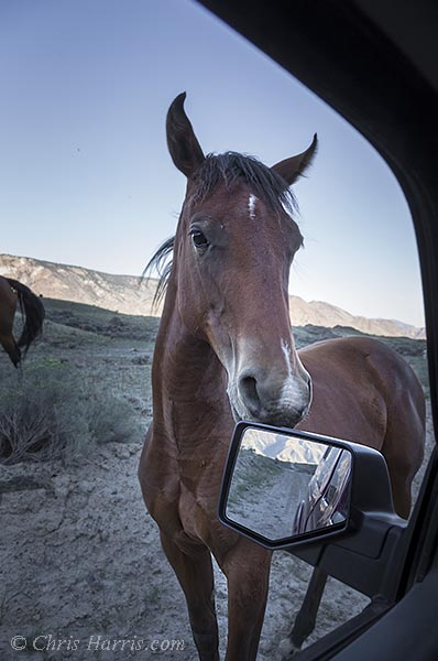 Canada, British Columbia, Fraser River Canyon, grasslands, wild horse on the road,